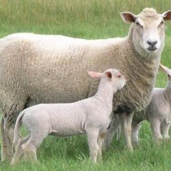 Původ našich ovcí