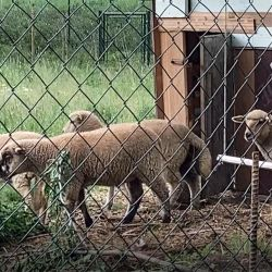 Ovce je velmi užitečné a oddolné zvíře