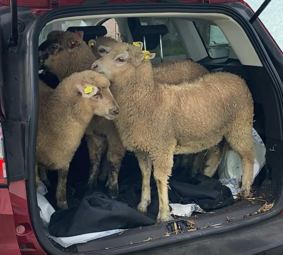 auto_ovce